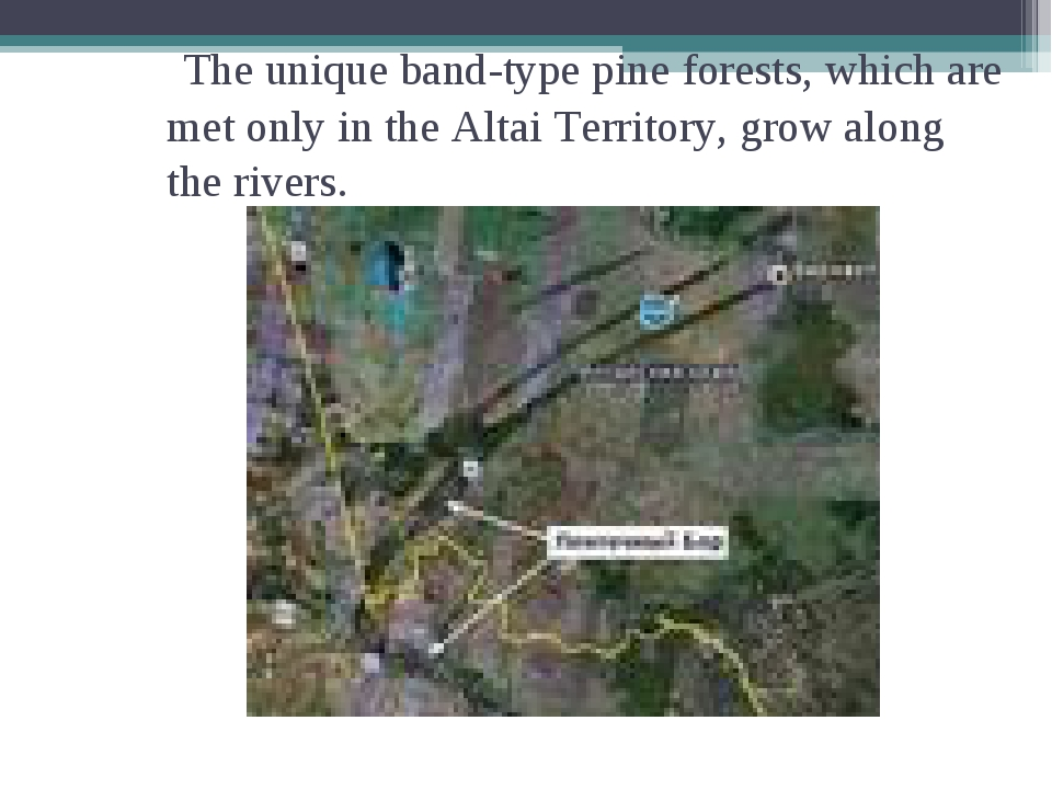 The unique band-type pine forests, which are met only in the Altai Territory...
