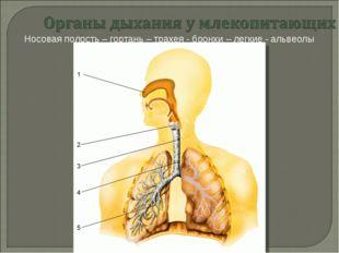 Носовая полость – гортань – трахея - бронхи – легкие - альвеолы