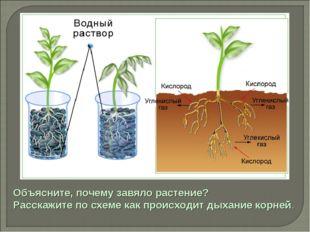 Объясните, почему завяло растение? Расскажите по схеме как происходит дыхание
