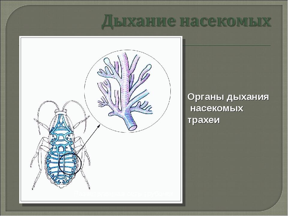 Органы дыхания насекомых трахеи Разветвленная сеть трубочек