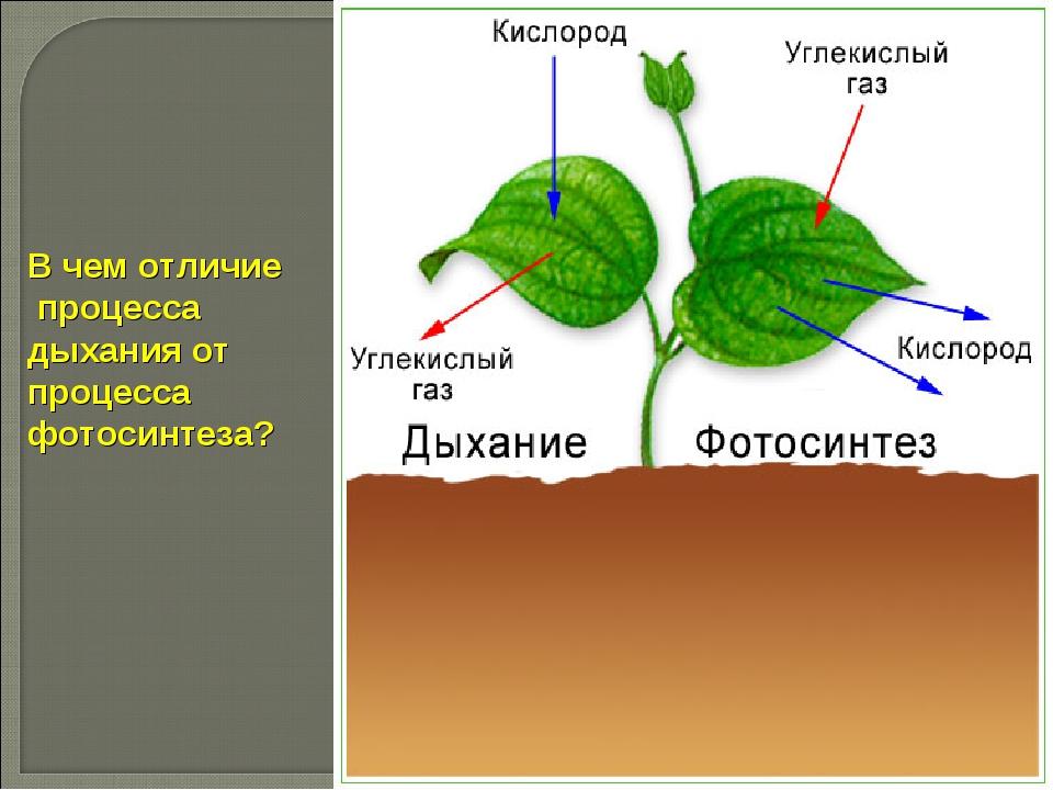 В чем отличие процесса дыхания от процесса фотосинтеза?