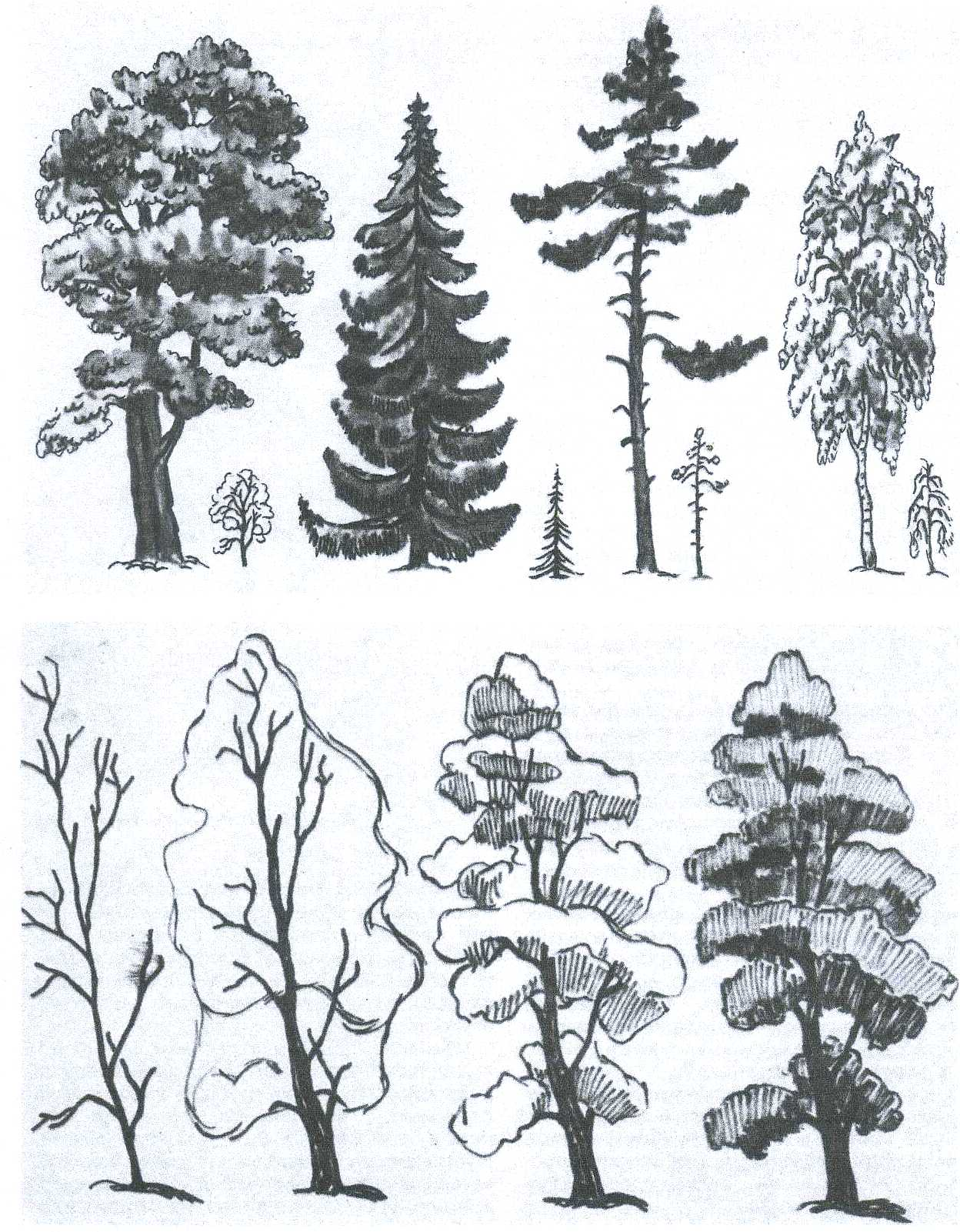 Деревья показать рисунок сосны 8