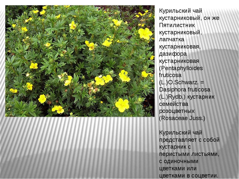 Лапчатка кустарниковая уход и выращивание полезные свойства 34