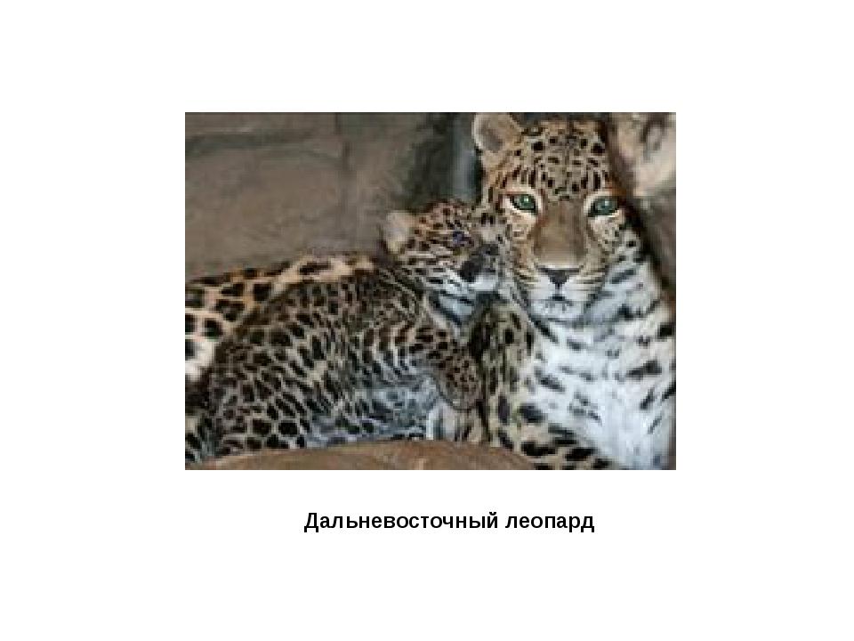 Дальневосточный леопартд Дальневосточный леопард