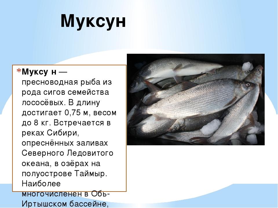 готовить муксун рыба фото описание процесс несложен, защитит