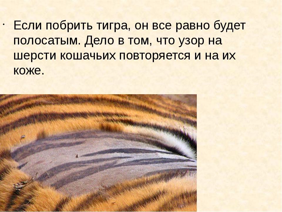 Если побрить тигра, он все равно будет полосатым. Дело в том, что узор на шер...