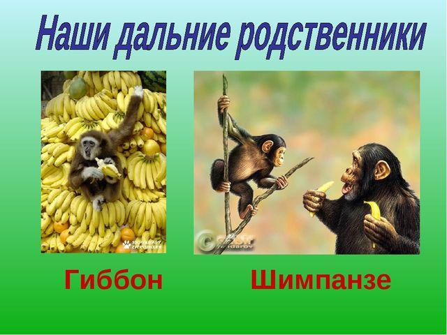Гиббон Шимпанзе