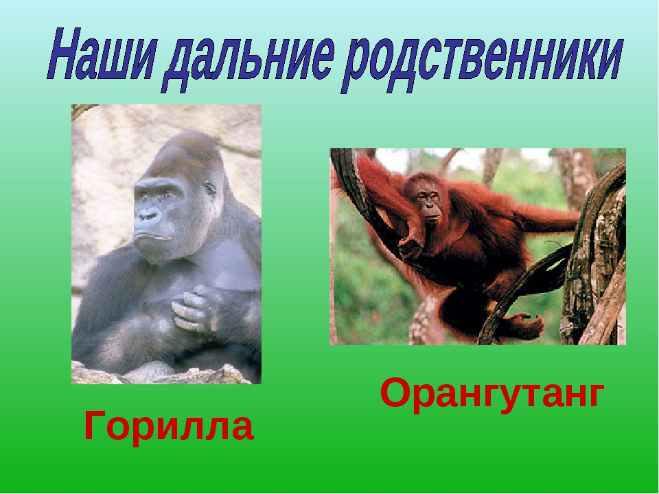 Горилла Орангутанг