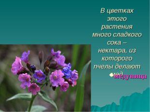 В цветках этого растения много сладкого сока – нектара, из которого пчелы дел