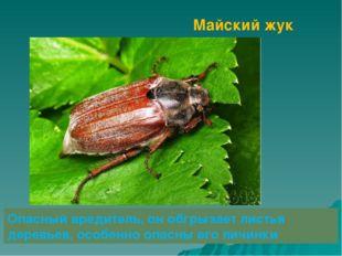 Майский жук Опасный вредитель, он обгрызает листья деревьев, особенно опасны