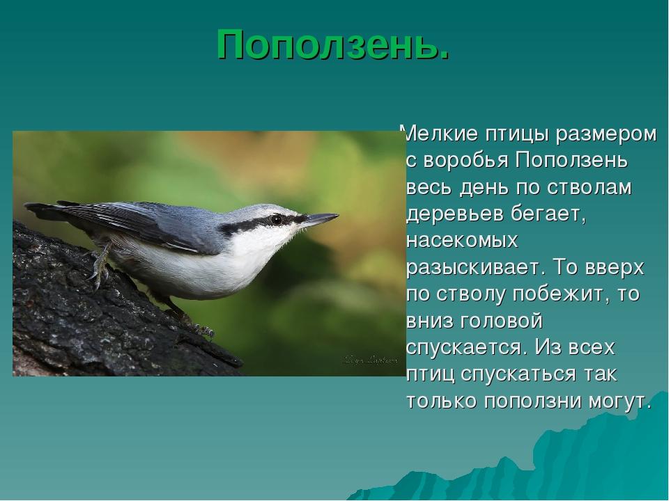 Поползень. Мелкие птицы размером с воробья Поползень весь день по стволам дер...