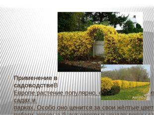 Применение в садоводствеВЕвроперастение популярно, его можно встретить во