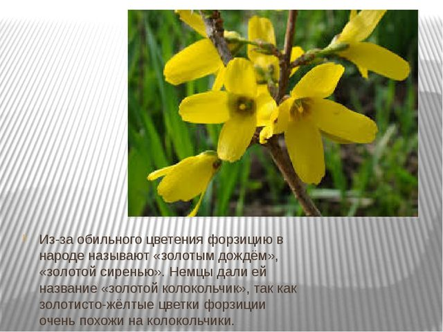 Из-за обильного цветения форзицию в народе называют «золотым дождём», «золот...