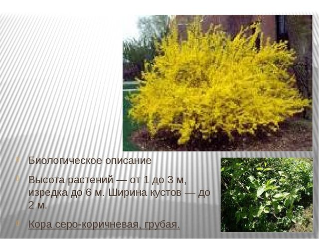 Биологическое описание Высота растений— от 1 до 3м, изредка до 6м. Ширина...