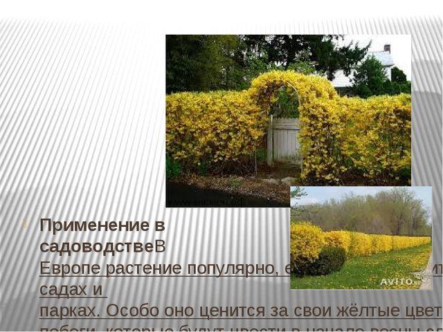 Применение в садоводствеВЕвроперастение популярно, его можно встретить во...