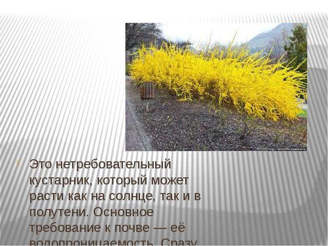 Это нетребовательный кустарник, который может расти как на солнце, так и в п...