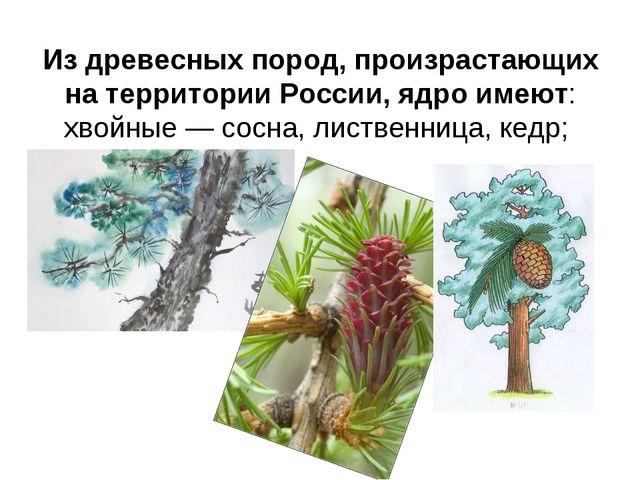 Из древесных пород, произрастающих на территории России, ядро имеют: хвойные...