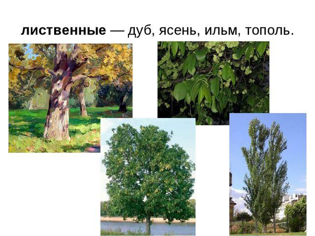 лиственные — дуб, ясень, ильм, тополь.
