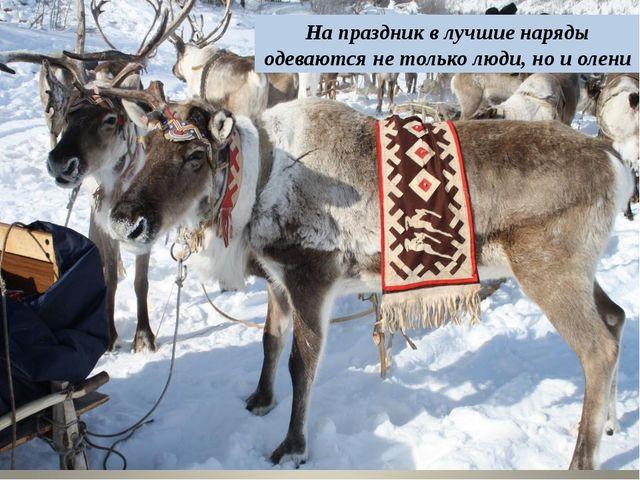 На праздник в лучшие наряды одеваются не только люди, но и олени