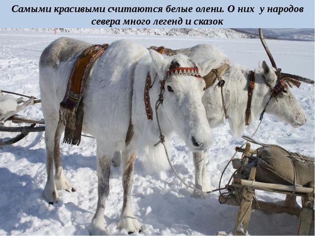 Самыми красивыми считаются белые олени. О них у народов севера много легенд и...