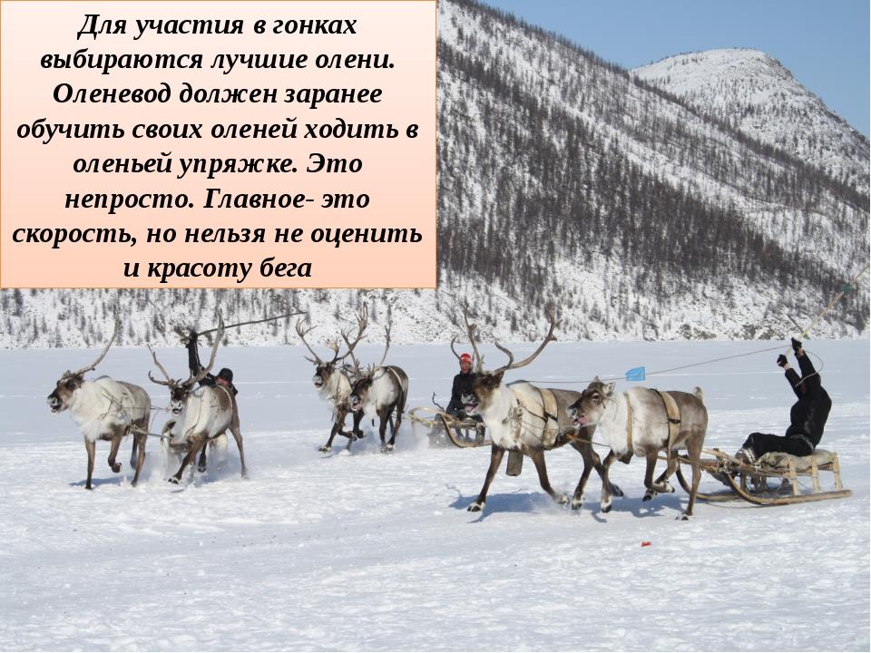 Для участия в гонках выбираются лучшие олени. Оленевод должен заранее обучить...