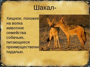 Шакал- Хищное, похожее на волка животное семейства собачьих, питающееся преим