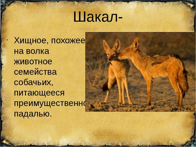 Шакал- Хищное, похожее на волка животное семейства собачьих, питающееся преим...