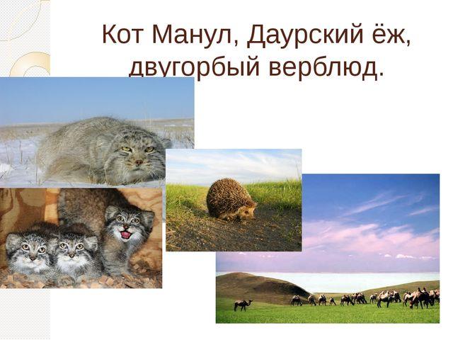Кот Манул, Даурский ёж, двугорбый верблюд.