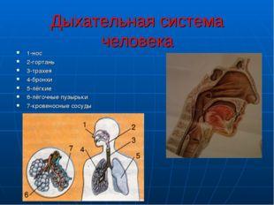Дыхательная система человека 1-нос 2-гортань 3-трахея 4-бронхи 5-лёгкие 6-лёг