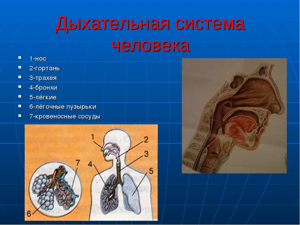 Дыхательная система человека 1-нос 2-гортань 3-трахея 4-бронхи 5-лёгкие 6-лёг...