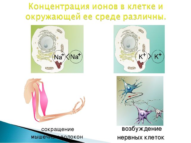 сокращение мышечных волокон возбуждение нервных клеток