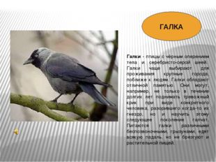 Галки - птицы с чёрным оперением тела и серебристо-серой шеей. Галки чаще вы