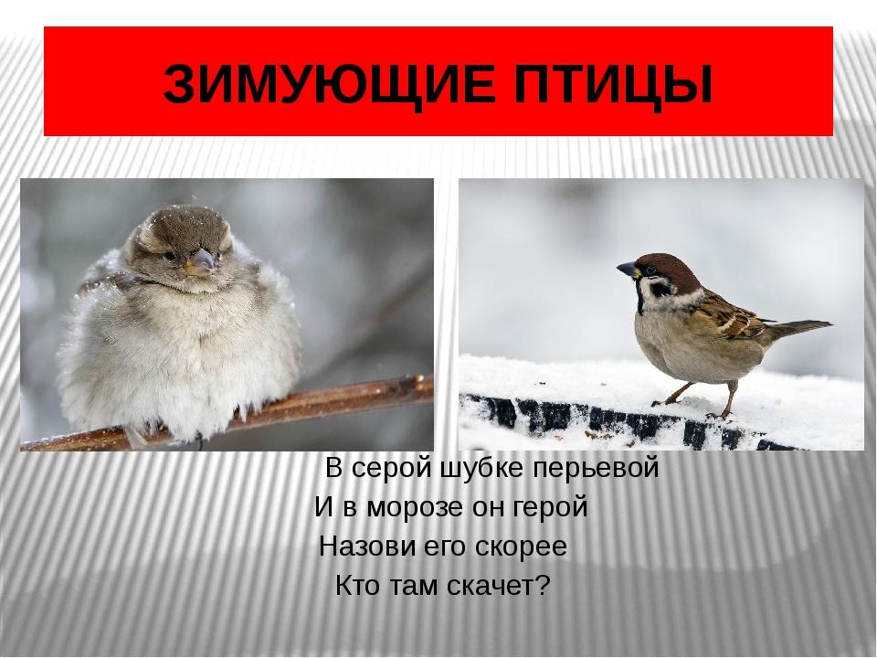ЗИМУЮЩИЕ ПТИЦЫ В серой шубке перьевой И в морозе он герой Назови его скорее...
