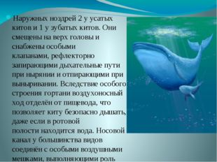 Наружных ноздрей 2 у усатых китов и 1 у зубатых китов. Они смещены на верх г