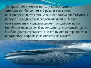 Во время погруженияпульсу китообразных замедляется более чем в 2 раза, и т