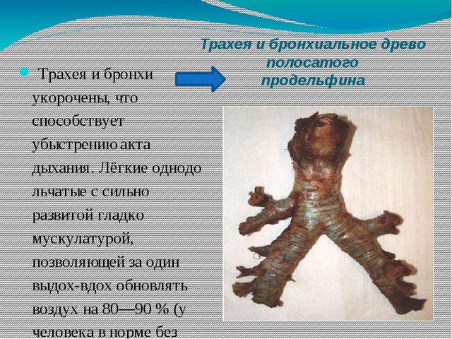 Трахея и бронхиальное древо полосатого продельфина Трахея и бронхи укорочены,...