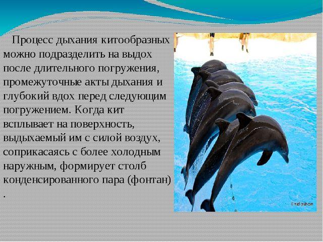 Процесс дыхания китообразных можно подразделить на выдох после длительного п...