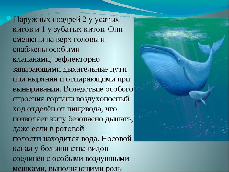 Наружных ноздрей 2 у усатых китов и 1 у зубатых китов. Они смещены на верх г...