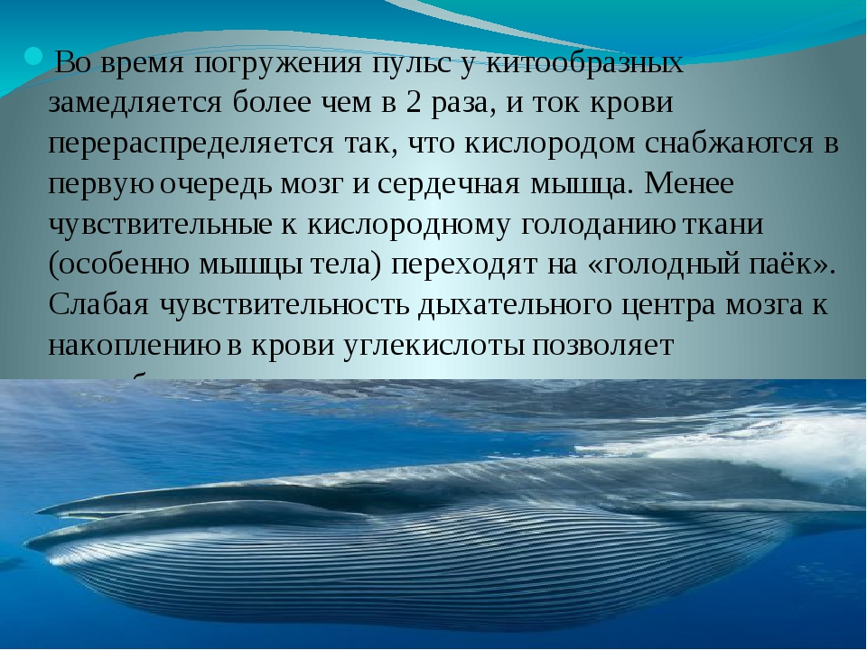 Во время погруженияпульсу китообразных замедляется более чем в 2 раза, и т...