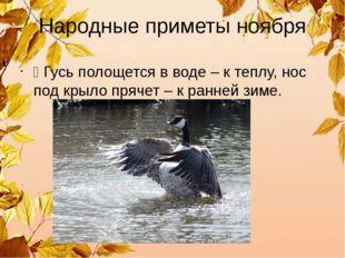 Народные приметы ноября Ÿ Гусь полощется в воде – к теплу, нос под крыло пряч