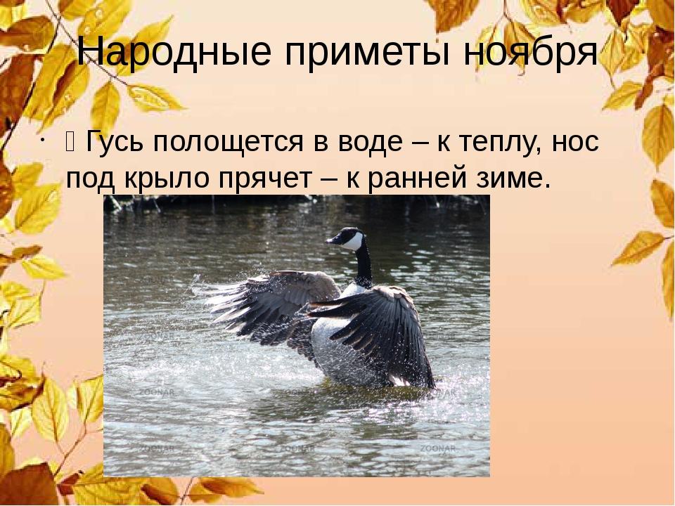 Народные приметы ноября Ÿ Гусь полощется в воде – к теплу, нос под крыло пряч...