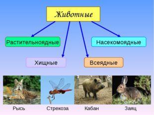 Животные Растительноядные Насекомоядные Хищные Всеядные Рысь Стрекоза Кабан З