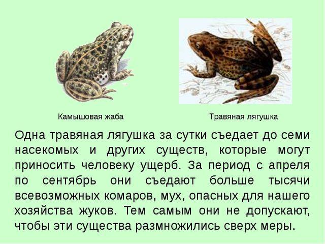 Одна травяная лягушка за сутки съедает до семи насекомых и других существ, ко...