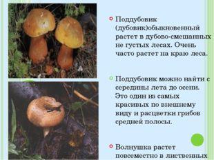 Поддубовик (дубовик)обыкновенный растет в дубово-смешанных не густых лесах. О