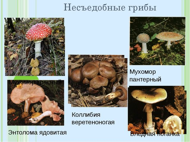 Несъедобные грибы Мухомор пантерный Энтолома ядовитая Коллибия веретеноногая...