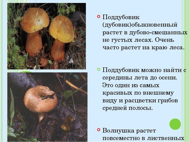 Поддубовик (дубовик)обыкновенный растет в дубово-смешанных не густых лесах. О...