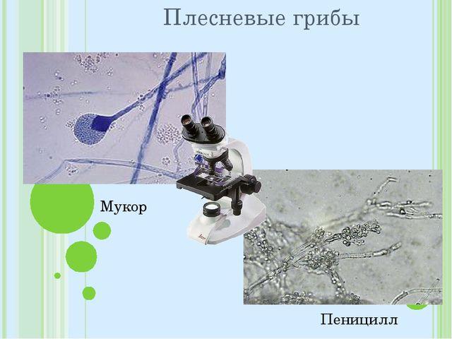 Плесневые грибы Мукор Пеницилл