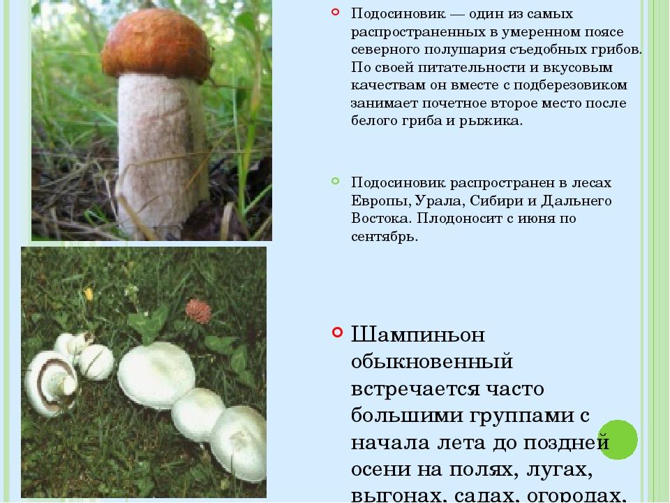 Подосиновик — один из самых распространенных в умеренном поясе северного полу...