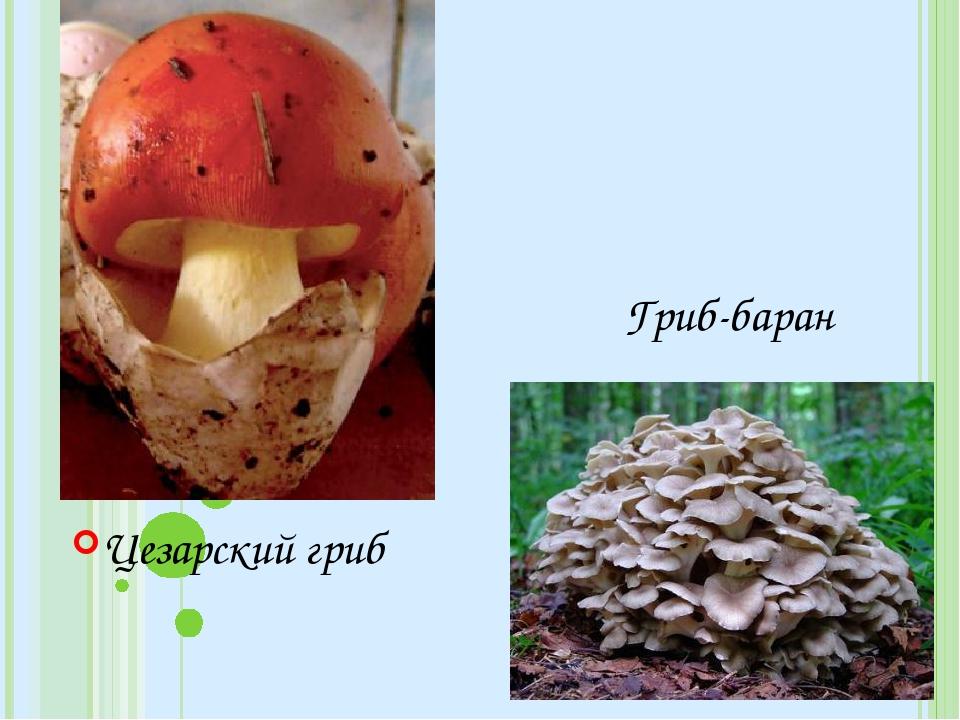 Цезарский гриб Гриб-баран