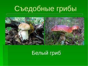 Съедобные грибы Белый гриб